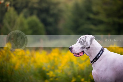 profile of great dane dog with blue eyes in summer meadow