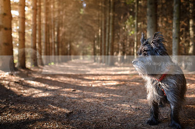 brindle terrier dog standing in pine forest