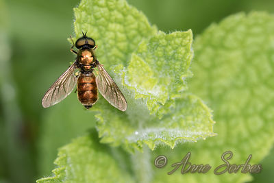 Soldier flies (Stratiomyidae) photos