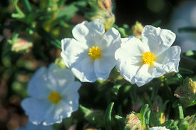 Cistus monspelienis, narrow leaved cistus