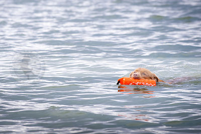 nova scotia duck toller dog swimming with training toy in lake