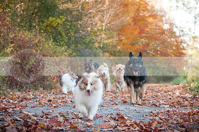 pack of dogs running toward camera along autumn trail