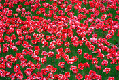 The Tower of London's 'Blood swept Lands and Seas of Red' poppy installation to commemorate start of WW1