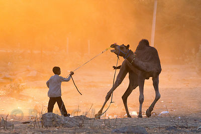 A boy wrestles to get his camel under control at sunset, Pushkar, Rajasthan, India