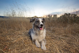 Happy dog in field at sunset