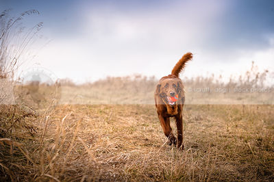 red setter cross breed dog running with ball in field of dried grasses