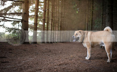 red cross breed dog standing in forest of pines