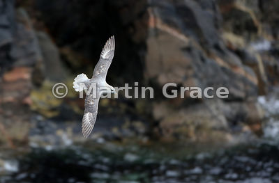 A Northern Fulmar (Fulmarus glacialis) soars across the cliff face at Burravoe, Yell, Shetland