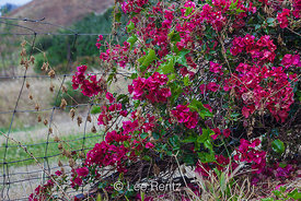Bougainvillea near Ranch House at Smugglers Cove