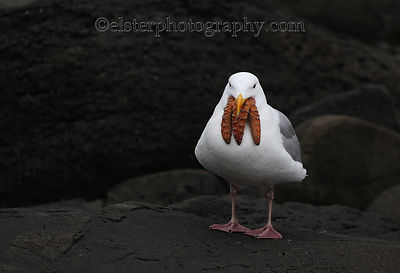 Gulls and Shorebirds photos