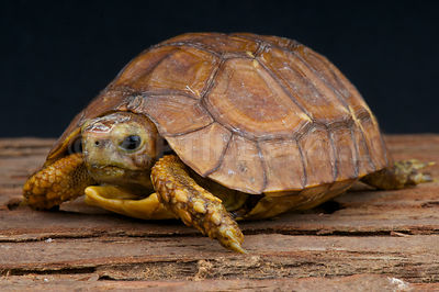 Bell's Hinge-back tortoise (Kinixys belliana nogueyi) photos