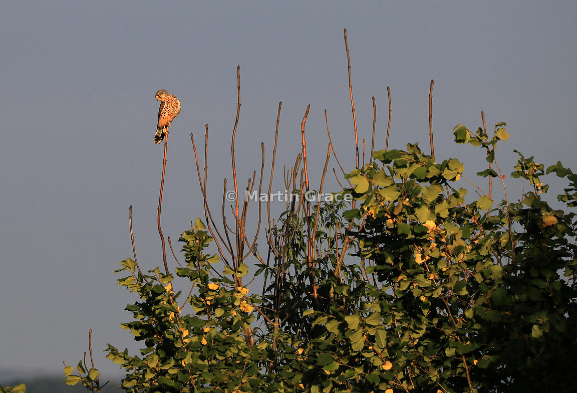 Common Kestrel (Falco tinnunculus tinnunculus) perching in the bare branches of a Ash Dieback-affected tree (Fraxinus excelsior) with leaves of Hazel (Corylus avellana), golden hour, Cumbria, England