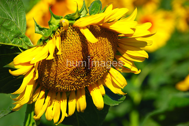 Drooping sunflower facing right