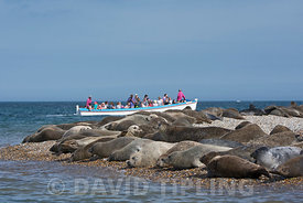 Common (Harbour) Seals and seal tourists  Blakeney Point Norfolk summer