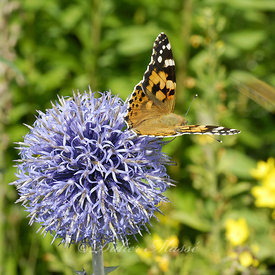 Petite tortue et echinops Ennery Val d'Oise 07/09