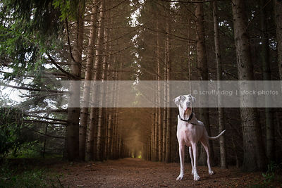 large great dane dog standing in tunnel of pine trees