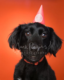 Close-up Black Dachshund Mix Close-Up with Birthday Hat