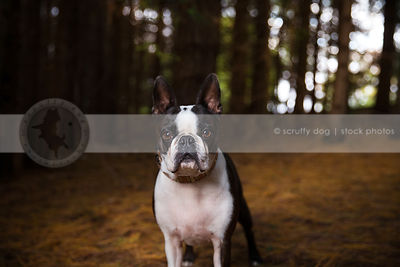 portrait of serious little boston terrier dog staring in natural setting