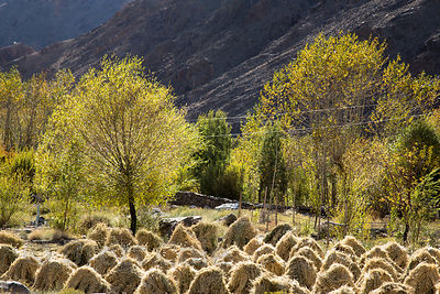 Barley harvest in Leh, Ladakh, India