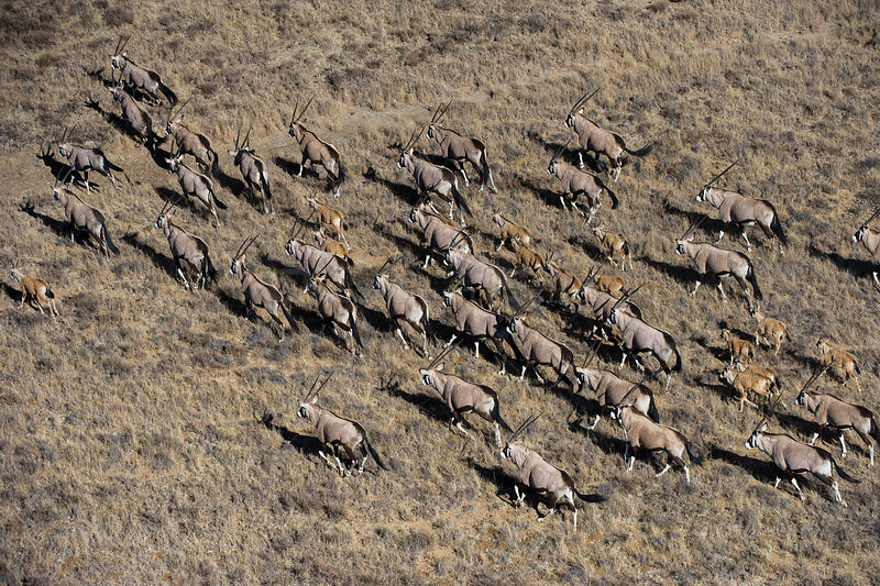 Aerial view of herd of Gemsbok (Oryx gazella) on private game ranch. Great Karoo, South Africa