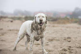A Smilling White Labrador Retriever Dog Standing Happily on Beach with Eyes Closed