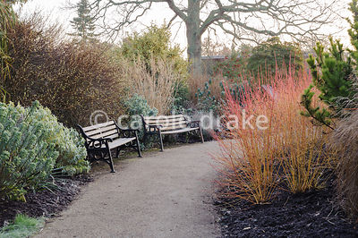 Path through the winter garden edged with Cornus sanguinea 'Midwinter Fire', euphorbias and grasses. Sir Harold Hillier Gardens, Ampfield, Romsey, Hants, UK
