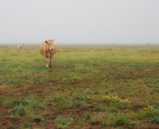 Light colored cow in a muddy field on a misty, rainy, day