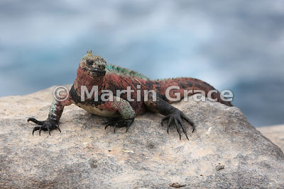 Marine Iguana (Amblyrhynchus cristatus venustissimus) on the cliff top at Punta Suarez, Espanola, Galapagos