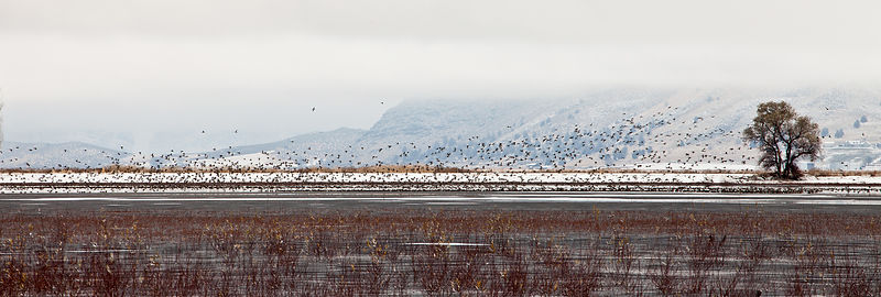 Winter panorama of geese lifting off in the Lower Klamath NWR, California