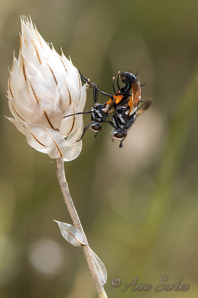 Flies and Hoverflies photos
