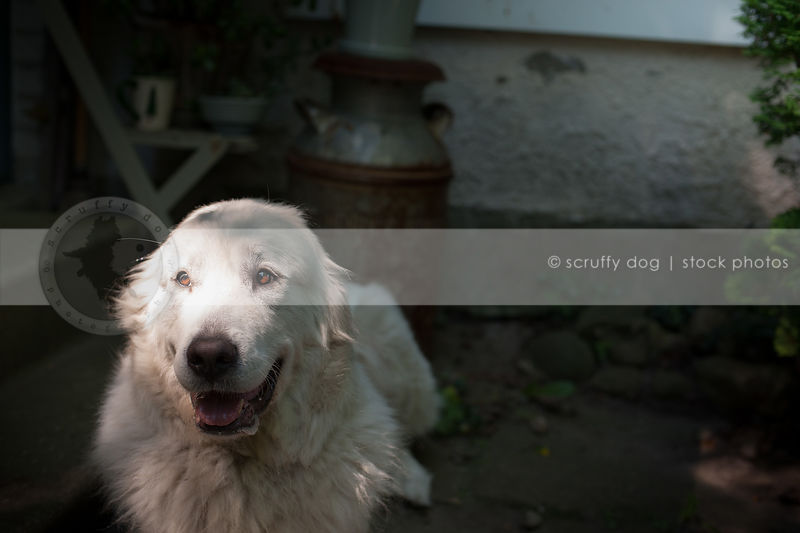 portrait of large white dog lying in shadows on porch at house