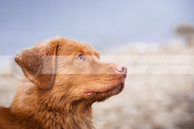 headshot of wet red dog looking skyward  with bokeh background