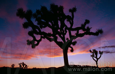 Joshua trees after sunset
