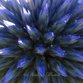 Coeur d'echinops Ennery Val d'Oise 07/09