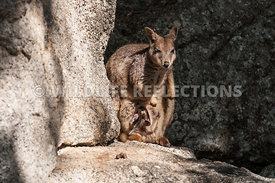 rock_wallaby_mareeba_young_pouch_joey-8