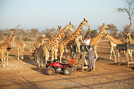 Workers at the Sir Bani Yas Island wildlife reserve delivering feed to the anxiously awaiting giraffes.