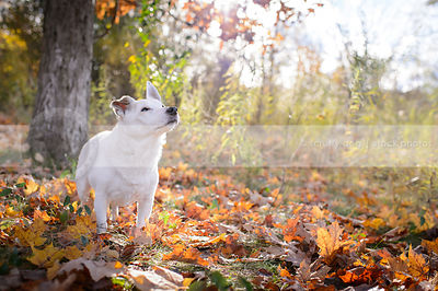 senior white terrier looking skyward in autumn leaves