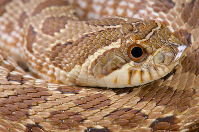 Mexican hognose snake (Heterodon kennerlyi) photos