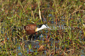 jacana_walking_4