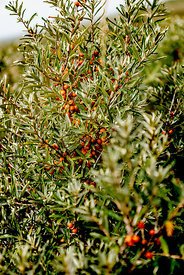 Danish sea buckthorn 2