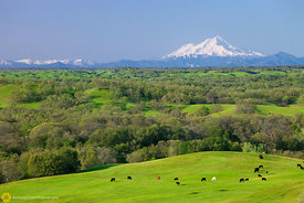 Mount Shasta and Grazing Cows #1