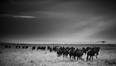 5722-Wildebeests-Baheux