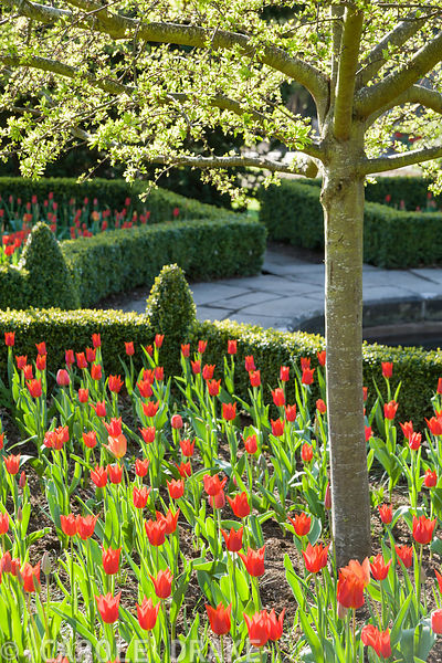 Tulipa 'Ballerina' in box edged beds in the formal garden in spring, Bodnant Garden.
