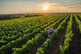 Top view. Winegrowers in their vines at sunset using a tablet.