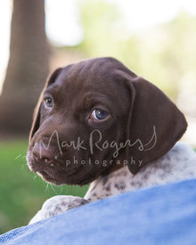 German Shorthaired pointer puppy up close