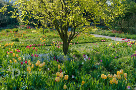 tulip meadow with cladrastris lutea