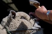 Shepherd trimming up sheep to show at the Royal Welsh Show