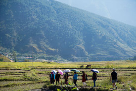 Tourists walking on rice fields near the Chime Lhakhang Monastery or temple, in Punakha District, Bhutan.