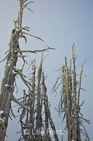 Skeletons of dead Whitebark Pines (Pinus albicaulis) on Hurricane Ridge, Olympic National Park, Olympic Peninsula, Washington, USA, March, 2009_WA_8143
