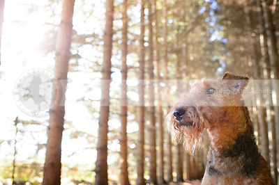 airedales photos